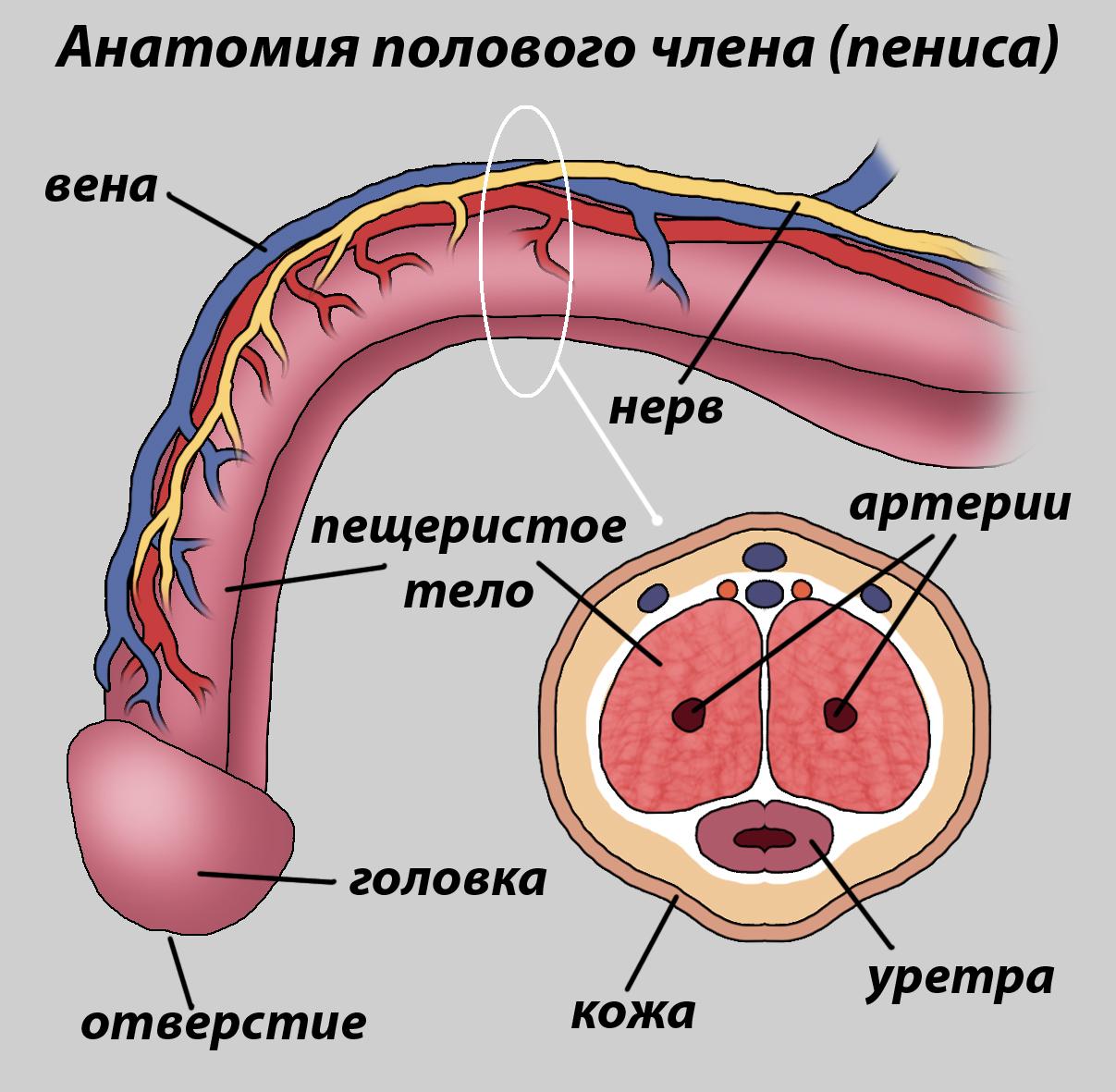 вены на пенисе 2